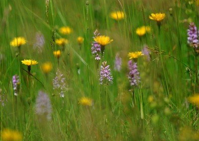 Meadow on the Downs